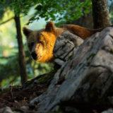 Sloweniens Bären und Mehr / Restplätze