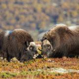 Norwegens Bergwelt – Wilder Herbst / Restplätze
