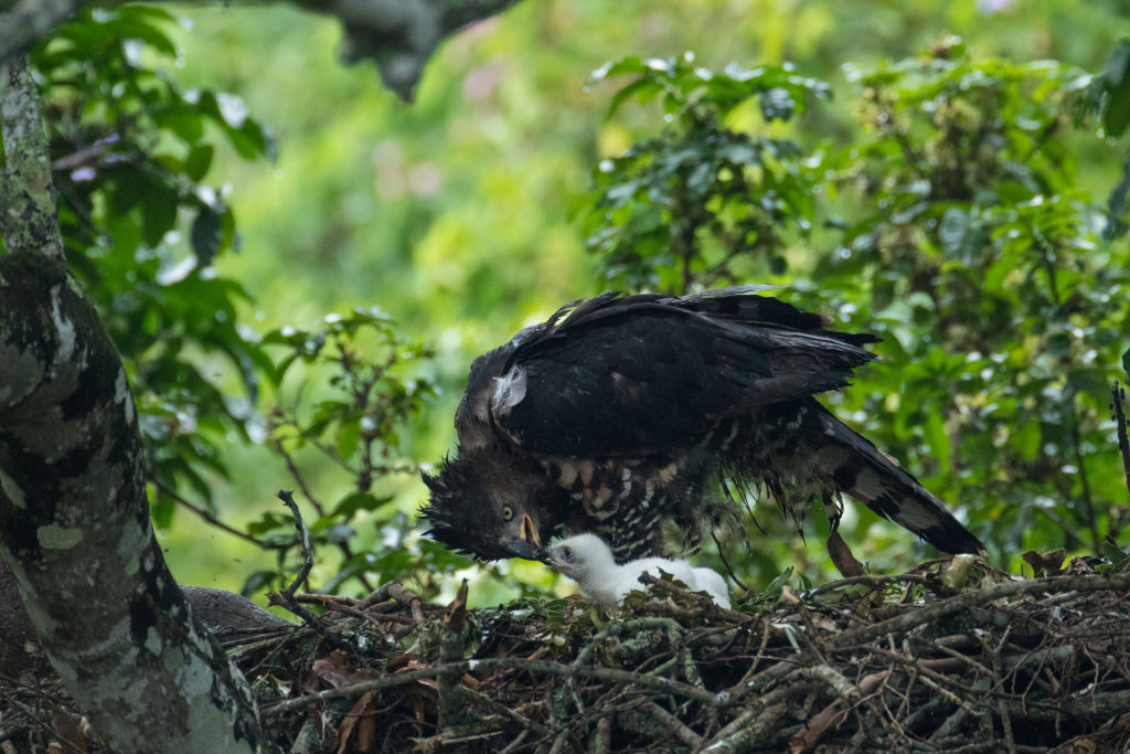 African Crowned Eagle • Website of Marc Graf and Christine