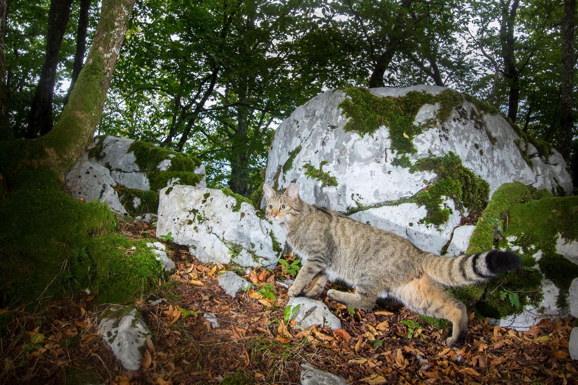 Z_Wildkatze in Fotofalle aus Slowenien_(c)_C.Sonvilla